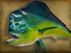 Dorado Reproduction