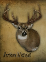 northern-whitetail