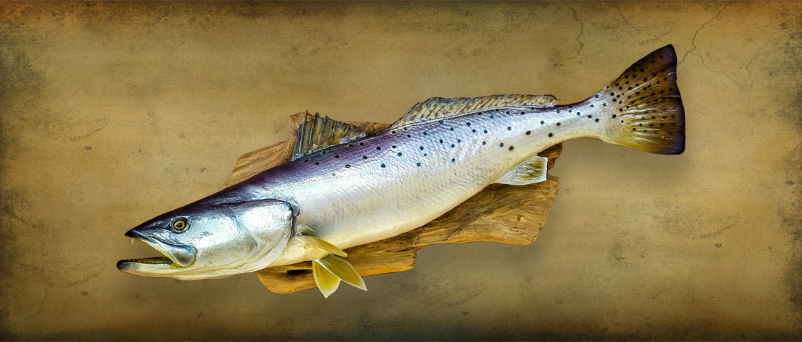 Speckled Trout Reproduction