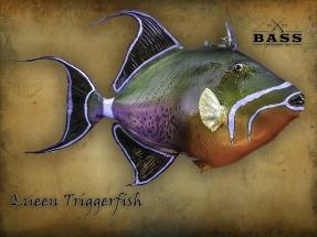 Queen-Triggefish